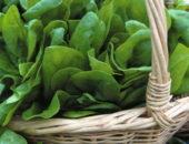 Выращивание шпината в теплице
