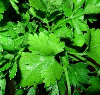 Как проводить выгонку зелени петрушки в теплице?