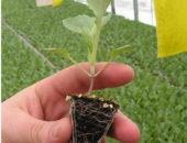Выращивание в теплице рассады цветной капусты