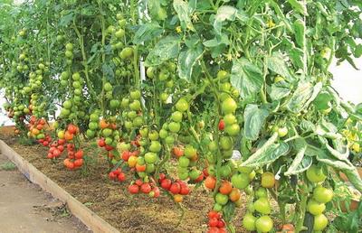 Выращивание томатов в сибирских теплицах