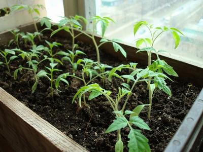 Как предотвратить вытягивание рассады томатов?