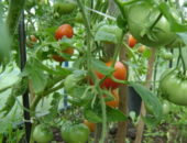 Высокорослые сорта томатов для теплиц