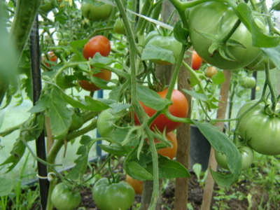 Как вырастить огурцы и помидоры в теплице к Новому году (климат Северной Осетии)?