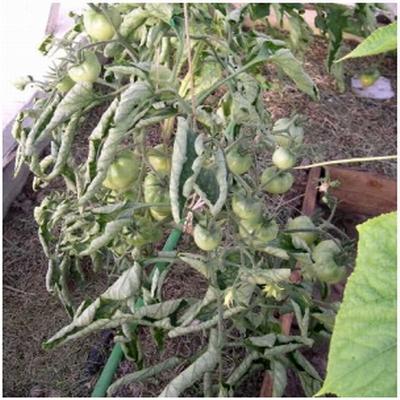 Почему у томатов закручивается верхушка