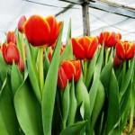 Выращивание тюльпанов в теплице: от выбора сорта до сбора урожая