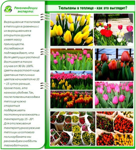Сроки посадки тюльпанов в домашних условиях
