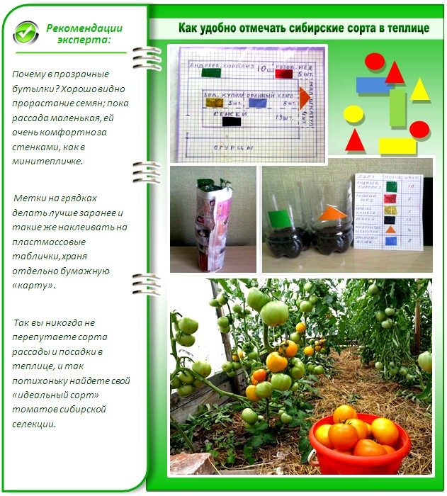 Планирование посадок томатов в теплице