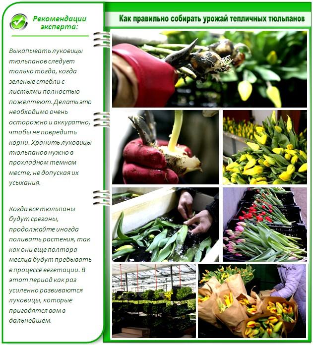 Сбор урожая тюльпанов