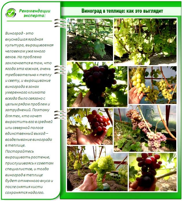 Лучшие сорта винограда для теплиц