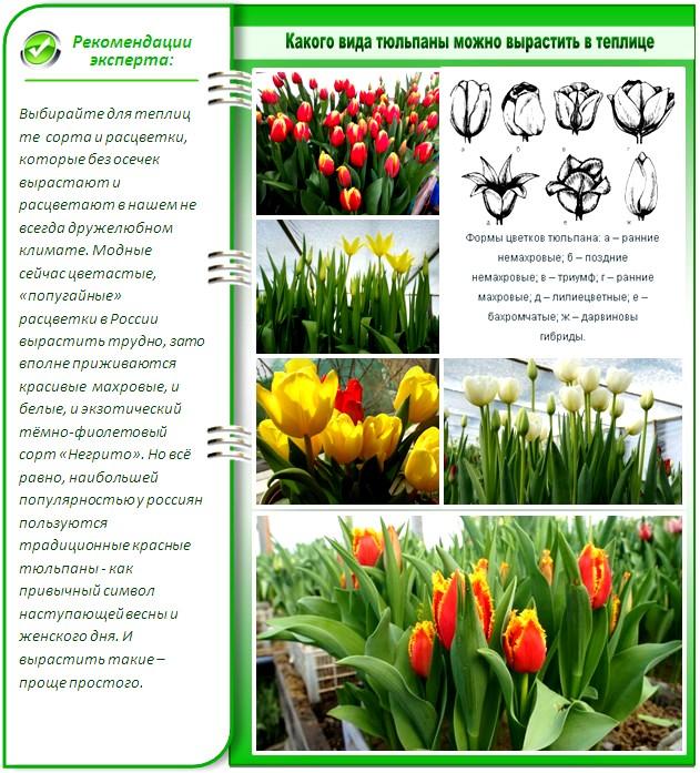 Сорта тюльпанов для теплиц