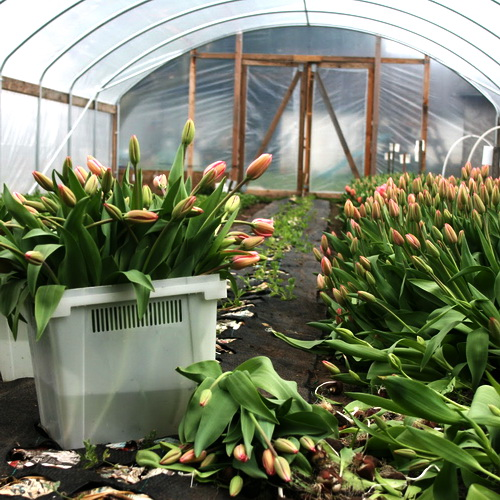 Выращивание тюльпанов в теплице: обзор технологии