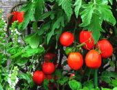 сортовые семена томатов для теплицы