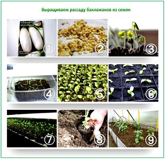 Как правильно вырастить рассаду