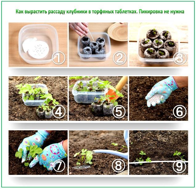 Как вырастить клубнику из семян в домашних условиях 13