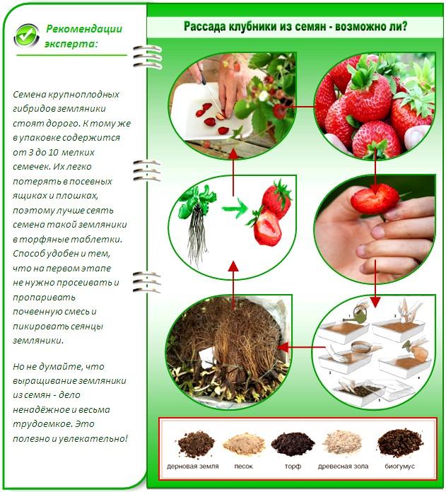 Как из семян клубники вырастить рассаду