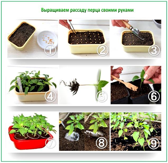 Как замочить семена для рассады 810