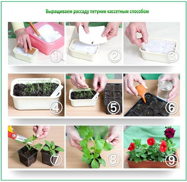 Выращиваем рассаду петунии