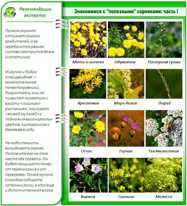вам картинки сорных растений с названиями берите лишь