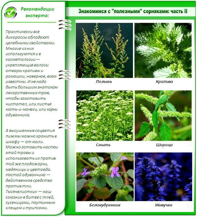 Самые известные сорняки, которые могут быть полезными