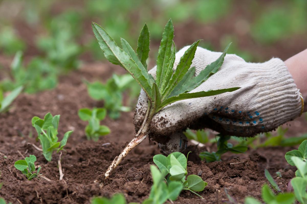 """Какую пользу и вред приносят сорняки: как """"приручить"""" сорные растения?"""