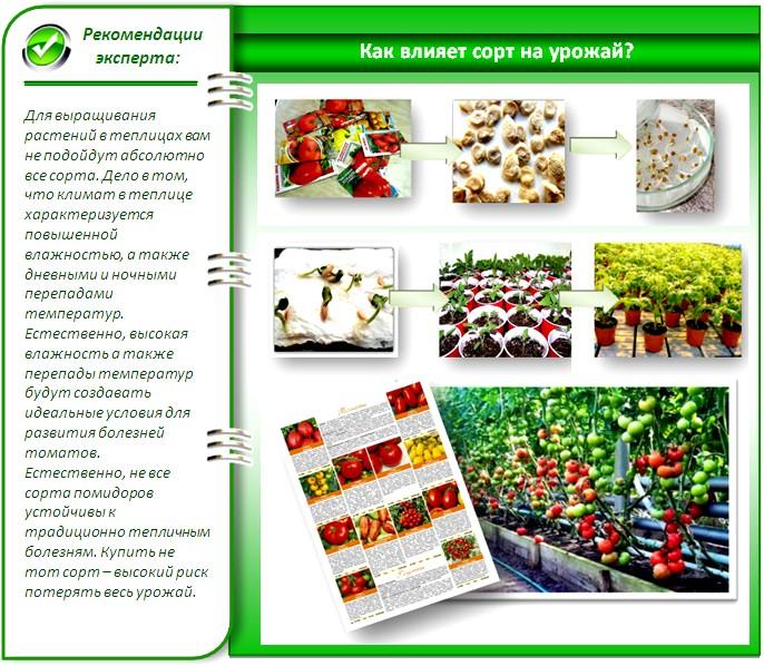 Проращивание и защита семян помидоров
