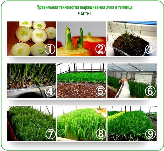 Как вырастить лук