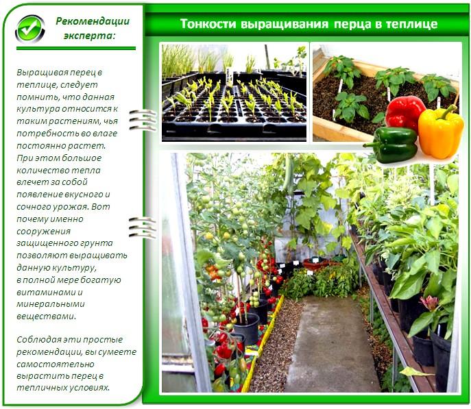 Технология выращивания перца в теплице
