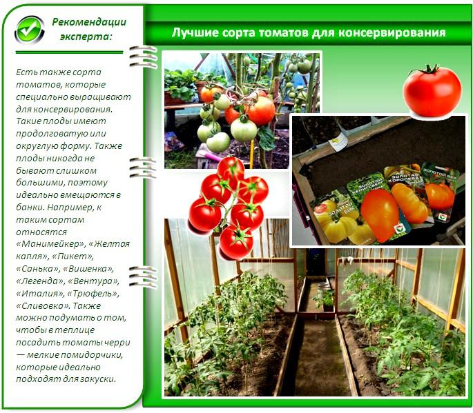 Лучшие урожайные сорта помидоров для теплиц
