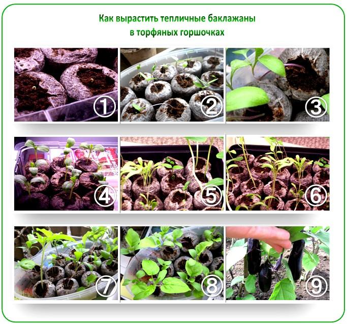 Выращивание баклажанов в торфяных таблетках