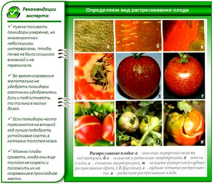 Растрескивание томатов из-за болезни