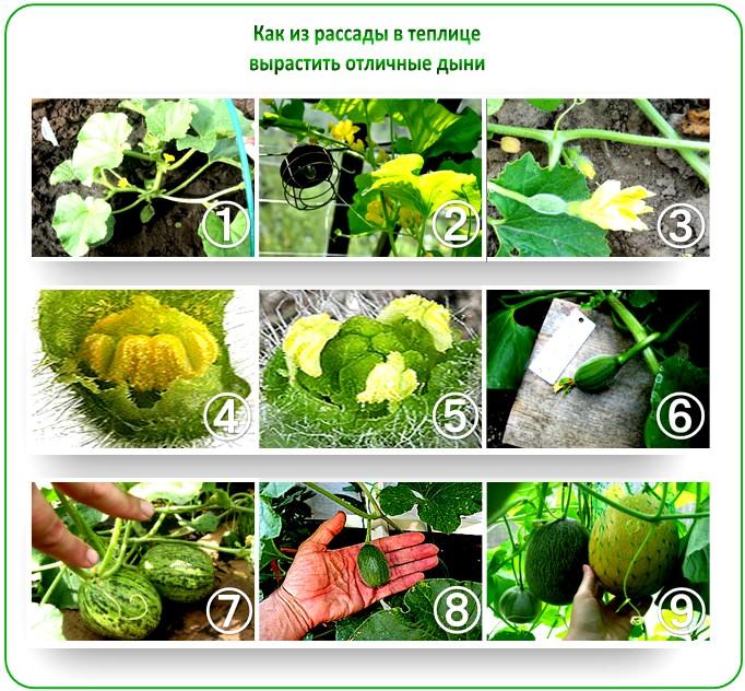 Выращивание арбуза в теплице из рассады