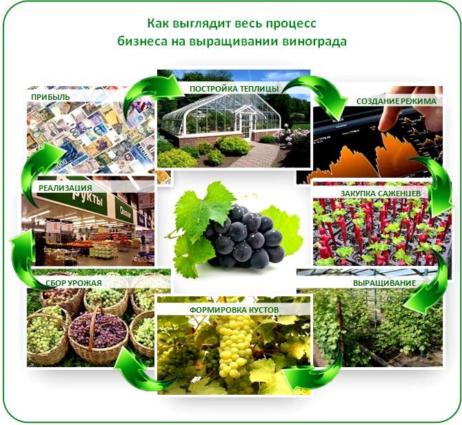 Выращивание винограда в теплице как бизнес
