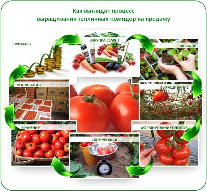 Бизнес на помидорах в теплице