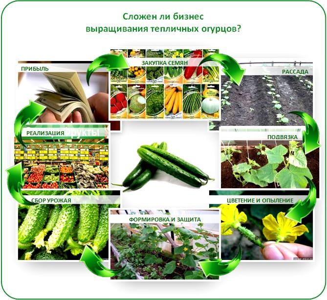 Бизнес план выращивание огурцы 59