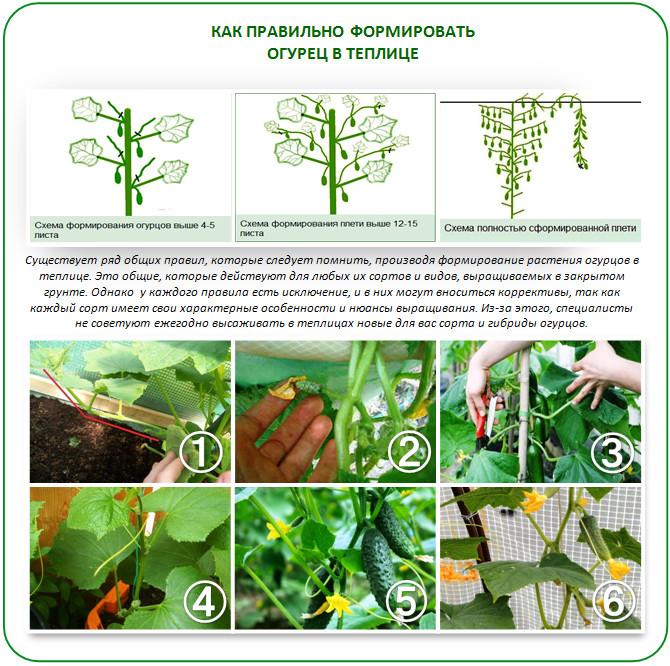 Выращивание огурцов в теплице затраты 11