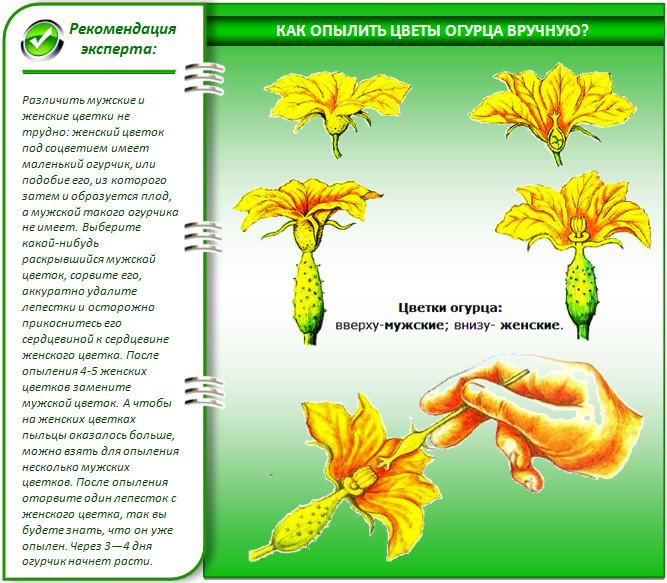 Опыление цветков огурца