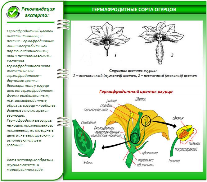 Сорта огурцов для теплицы из поликарбоната: лучшие варианты