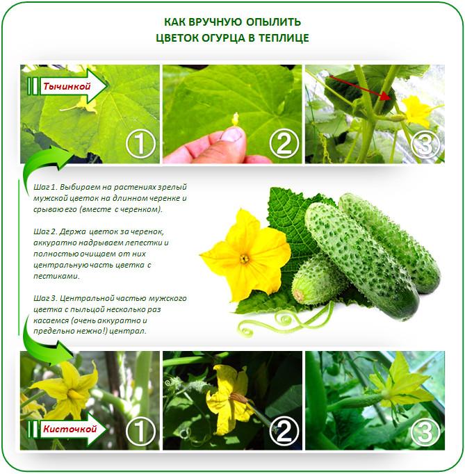 Ручное опыление цветков огурца
