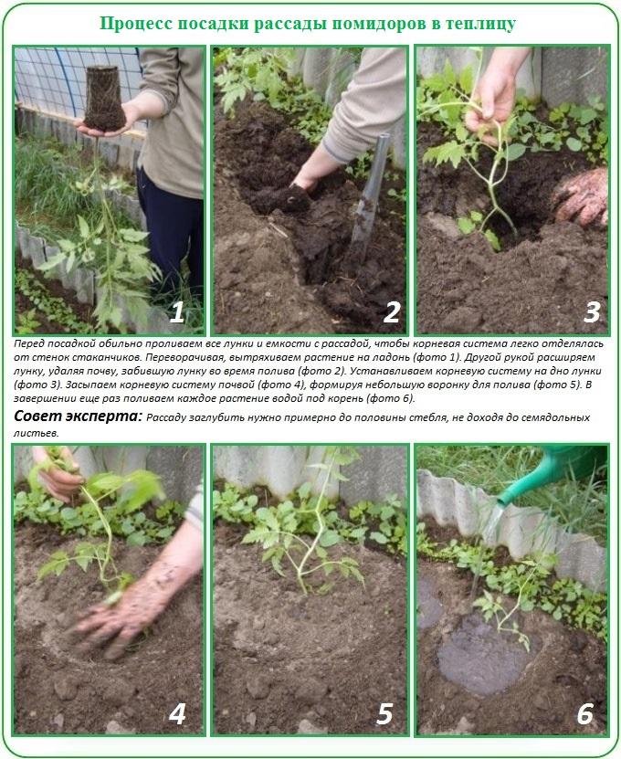 Пошаговое описание посадки томатов в теплицу из поликарбоната
