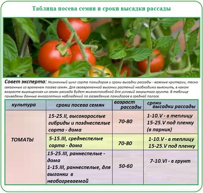 Правила выращивания рассады для посадки помидор в теплицу