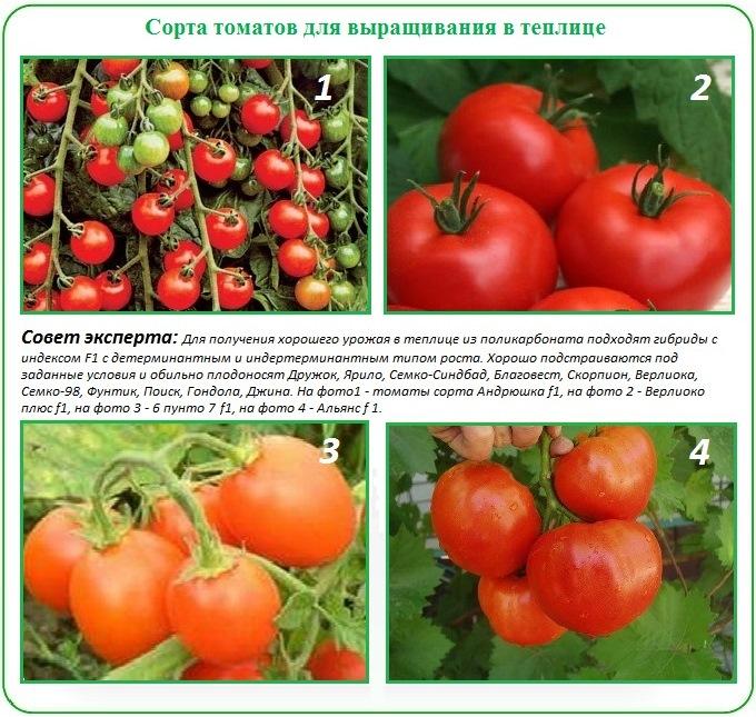 Как выбрать сорт для посадки помидор в теплицу из поликарбоната