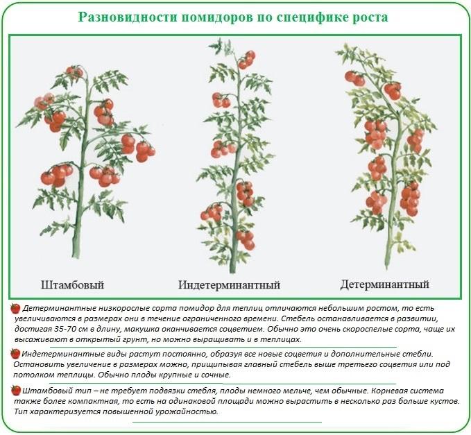 Классификация томатов по специфике роста для посадки в теплицу