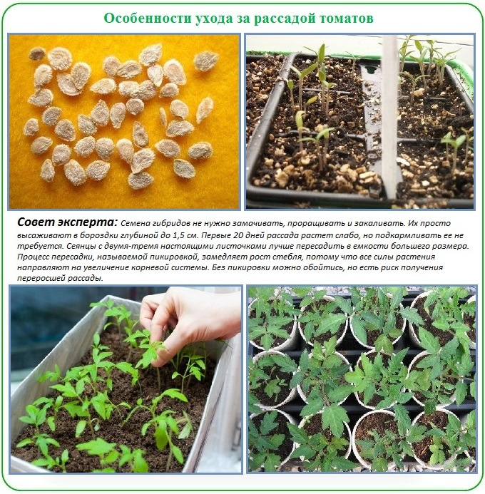 Как вырастить рассаду для пересадки в теплицу