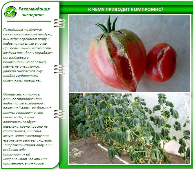 Почему нельзя выращивать огурцы с помидорами