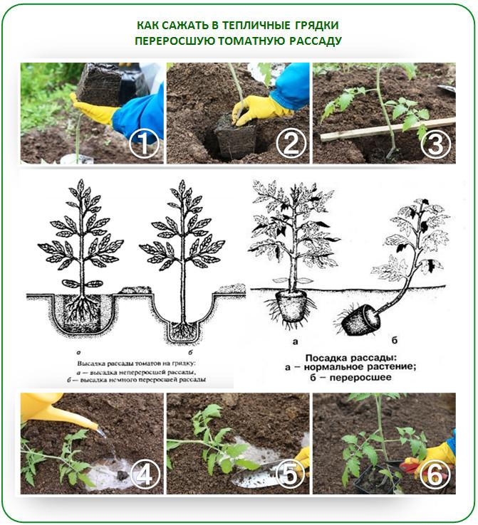 Как сажать переросшую рассаду в теплицу
