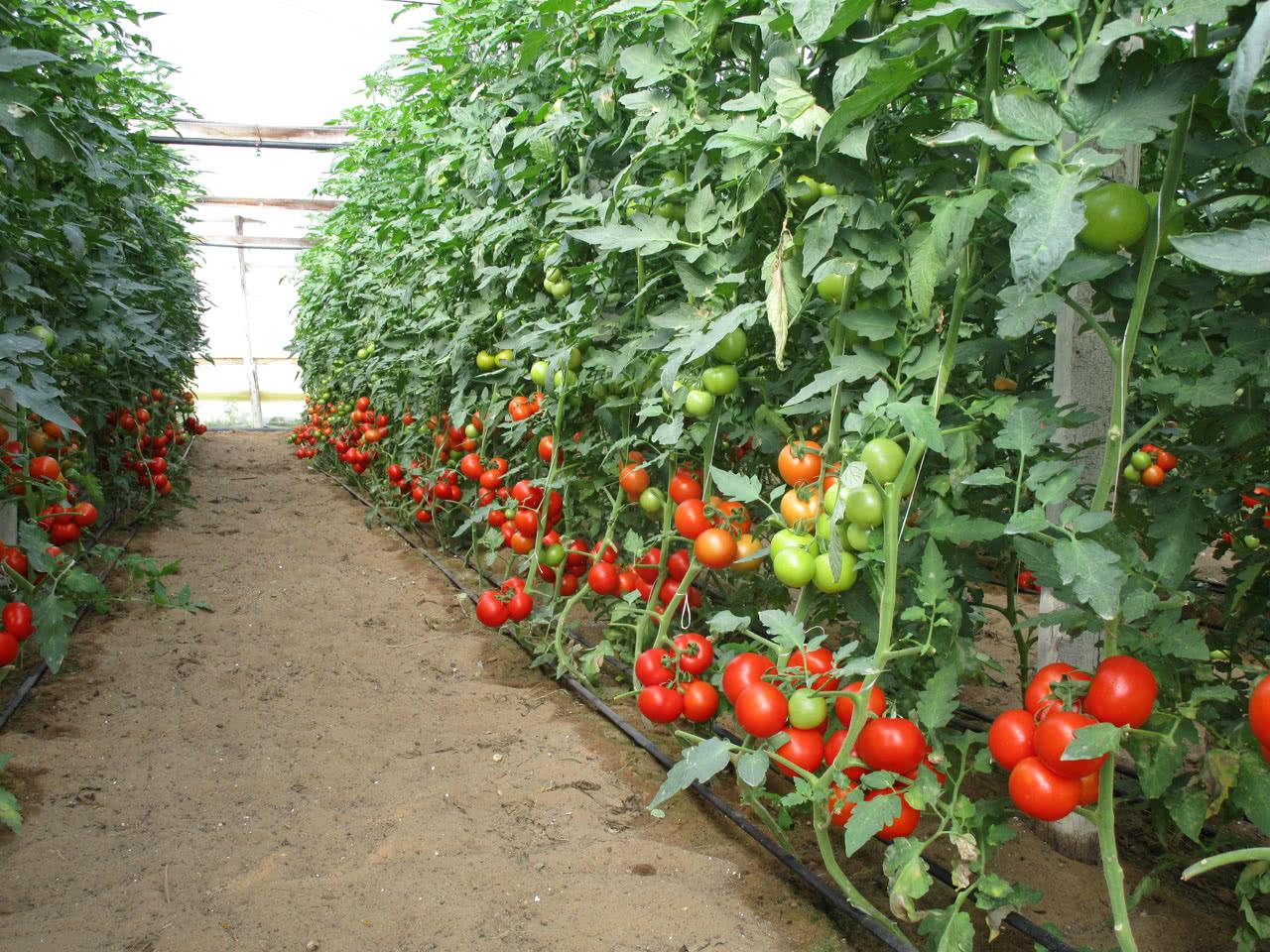Высадка рассады помидор в теплицу: обзор возможных проблем + лучшие методы от профи