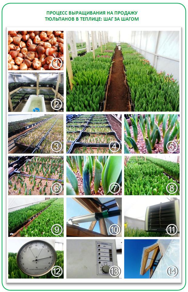Выращивание тюльпанов в теплице на гидропонике