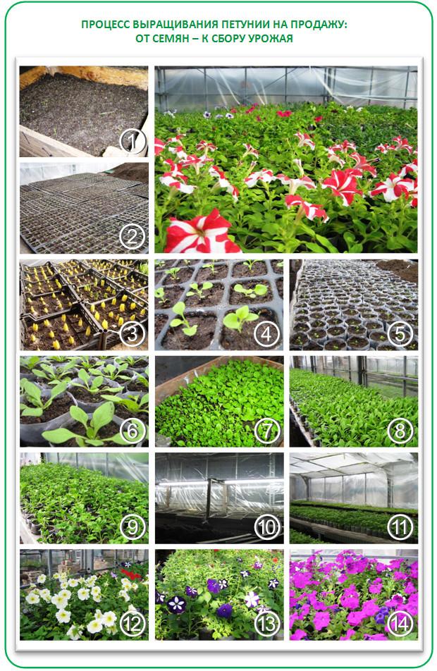 Выращивание петунии на продажу как бизнес