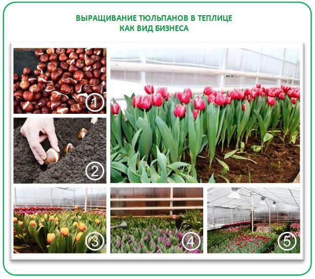 Выращивание тюльпанов как вид бизнеса