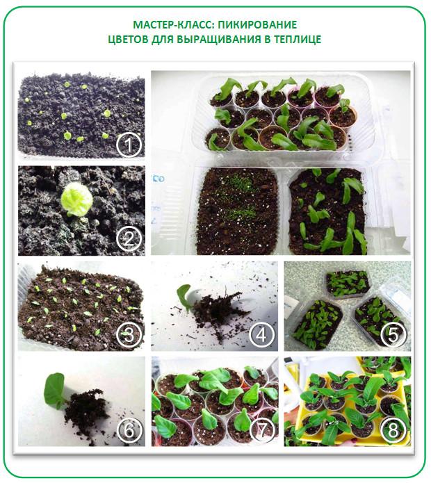 Пикировка рассады петунии для выращивания на продажу